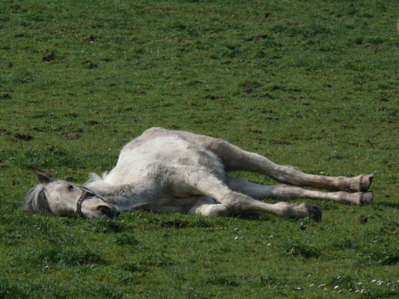 Click image for larger version  Name:800px-Grey_horse_lying_down_in_field.jpg Views:61 Size:103.1 KB ID:25665