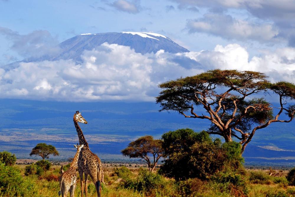 Click image for larger version  Name:kilimanjaro-giraffe-lrg.jpg Views:64 Size:112.1 KB ID:76241