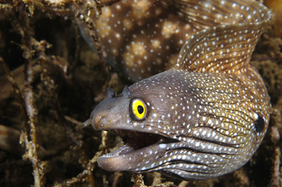 Click image for larger version  Name:Moray_eel2[1].jpg Views:46 Size:61.8 KB ID:69956