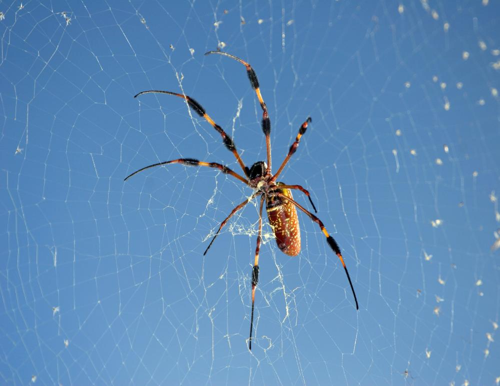 Click image for larger version  Name:Nephila Clavipes.jpg Views:38 Size:64.8 KB ID:98630