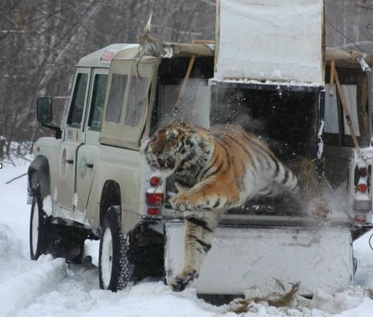 Click image for larger version  Name:Tiger released from Land Rover-cut.jpg Views:210 Size:38.5 KB ID:35394
