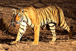 Click image for larger version  Name:Tiger_in_Ranthambhore.jpg Views:54 Size:33.0 KB ID:59188