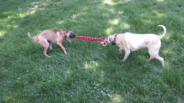 Click image for larger version  Name:tug of dog war.jpg Views:105 Size:144.2 KB ID:120936